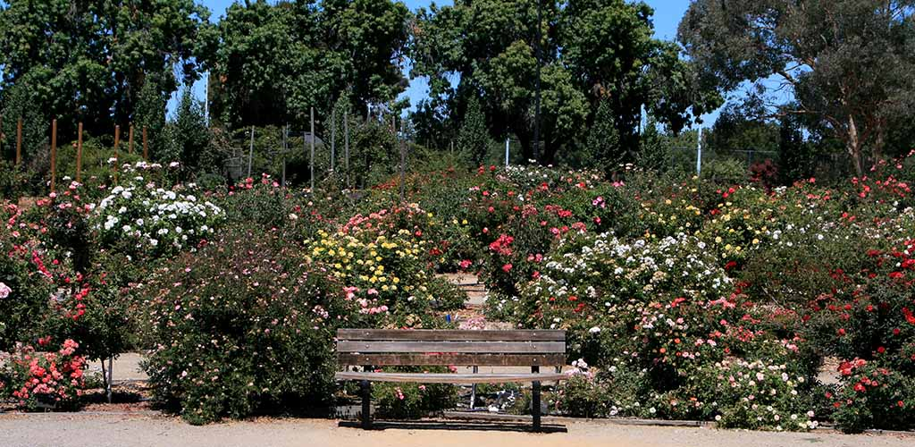 A bench that you can share with a single woman at the San Jose Municipal Rose Garden