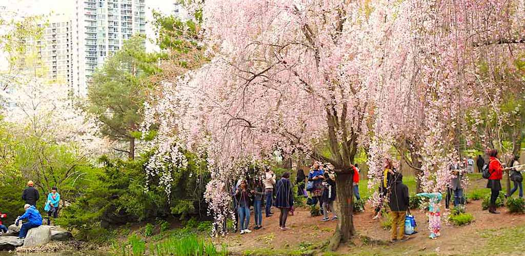 Families admiring the cherry blossoms at