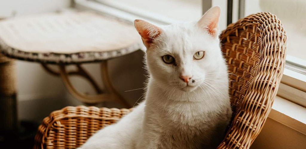 A gorgeous white cat from Nine Lives Cat Cafe