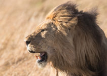 Figuring out how to be an alpha male is like being a lion